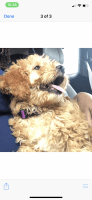 Goldendoodle Puppies for sale in Chicago, IL, USA. price: NA