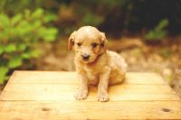 Goldendoodle Puppies for sale in Spring, TX 77373, USA. price: NA