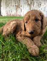 Goldendoodle Puppies for sale in Flagstaff, AZ, USA. price: NA