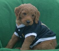 Goldendoodle Puppies for sale in New Castle, PA 16101, USA. price: NA