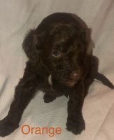 Goldendoodle Puppies for sale in Barling, AR, USA. price: NA