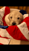 Goldendoodle Puppies for sale in Coffee County, GA, USA. price: NA