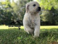 Goldendoodle Puppies for sale in Kingsport, TN, USA. price: NA