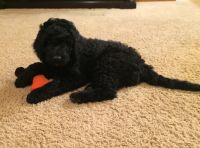 Goldendoodle Puppies for sale in Anderson, CA 96007, USA. price: NA