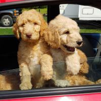 Goldendoodle Puppies for sale in Burton, MI, USA. price: NA