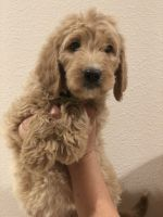 Goldendoodle Puppies for sale in Jurupa Valley, CA, USA. price: NA