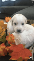 Goldendoodle Puppies for sale in Wichita, KS, USA. price: NA
