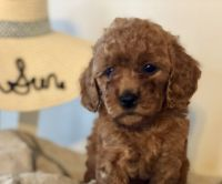 Goldendoodle Puppies for sale in Preston, ID 83263, USA. price: NA
