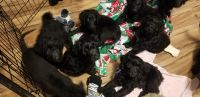 Goldendoodle Puppies for sale in Sparrows Point, MD 21219, USA. price: NA