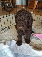 Goldendoodle Puppies for sale in Kewaskum, WI 53040, USA. price: NA