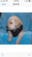 Goldendoodle Puppies for sale in Fort Worth, TX, USA. price: NA