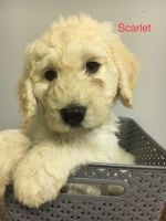 Goldendoodle Puppies for sale in Beavercreek, OH, USA. price: NA