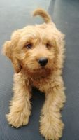 Goldendoodle Puppies for sale in Lakewood, CO, USA. price: NA