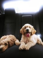Goldendoodle Puppies for sale in 10709 Broadway Ave S, Tacoma, WA 98444, USA. price: NA