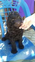 Goldendoodle Puppies for sale in Rockingham, NC 28379, USA. price: NA