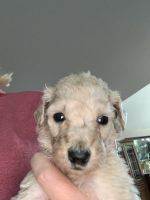 Goldendoodle Puppies for sale in Bay City, MI, USA. price: NA