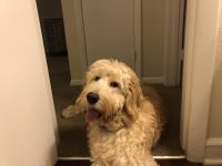 Goldendoodle Puppies for sale in 11200 Cherry Hill Rd, Beltsville, MD 20705, USA. price: NA