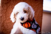 Goldendoodle Puppies for sale in Tucson, AZ, USA. price: NA