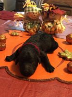 Goldendoodle Puppies for sale in Martinez, CA 94553, USA. price: NA