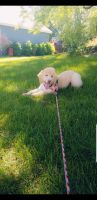 Goldendoodle Puppies for sale in Eagan, MN, USA. price: NA