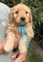 Goldendoodle Puppies for sale in Grand Ridge, IL 61325, USA. price: NA