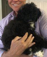 Goldendoodle Puppies for sale in Palm Desert, CA, USA. price: NA