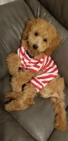 Goldendoodle Puppies for sale in Ridgewood, Queens, NY, USA. price: NA