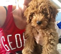 Goldendoodle Puppies for sale in Bristol, TN, USA. price: NA