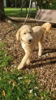 Goldendoodle Puppies for sale in Anoka, MN, USA. price: NA