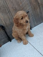 Goldendoodle Puppies for sale in Traverse City, MI, USA. price: NA