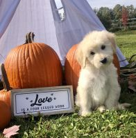 Goldendoodle Puppies for sale in Port Huron, MI, USA. price: NA