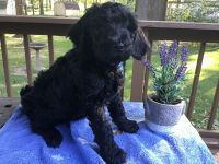 Goldendoodle Puppies for sale in Warsaw, IN, USA. price: NA