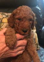 Goldendoodle Puppies for sale in Grand Rapids, MI, USA. price: NA