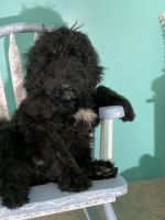 Goldendoodle Puppies for sale in Red House, WV, USA. price: NA