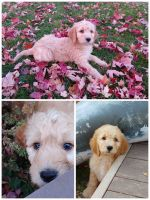 Goldendoodle Puppies for sale in ID-44, Star, ID, USA. price: NA