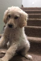 Goldendoodle Puppies for sale in Show Low, AZ 85901, USA. price: NA