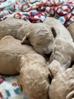 Goldendoodle Puppies for sale in Ogden, UT, USA. price: NA