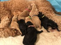 Goldendoodle Puppies for sale in Paris, TX, USA. price: NA