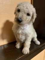 Goldendoodle Puppies for sale in Indianapolis, IN, USA. price: NA