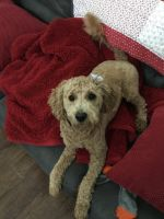 Goldendoodle Puppies for sale in Summerville, SC, USA. price: NA