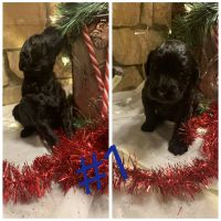 Goldendoodle Puppies for sale in Ledbetter, KY 42058, USA. price: NA