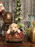 Goldendoodle Puppies for sale in Portage Park, Chicago, IL, USA. price: NA