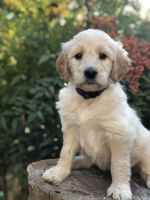 Goldendoodle Puppies for sale in Springville, CA 93265, USA. price: NA