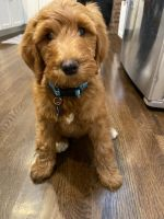 Goldendoodle Puppies for sale in White Plains, NY, USA. price: NA