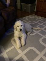 Goldendoodle Puppies for sale in Colorado Springs, CO, USA. price: NA