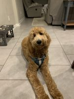 Goldendoodle Puppies for sale in Ocoee, FL 34761, USA. price: NA