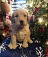Goldendoodle Puppies for sale in McKee, KY 40447, USA. price: NA