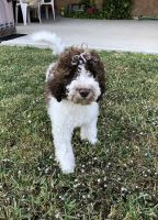 Goldendoodle Puppies for sale in Friendswood, TX, USA. price: NA