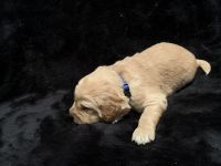 Goldendoodle Puppies for sale in Holt, MO 64048, USA. price: NA