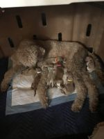 Goldendoodle Puppies for sale in 156 Belmont Dr, Cowpens, SC 29330, USA. price: NA